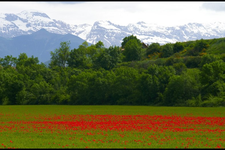 The field of poppies