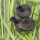 Common Moorhen children / Gallinula chloropus