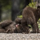 Black Bear Cubs-of-the-Year