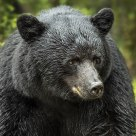 Male Black Bear Portrait