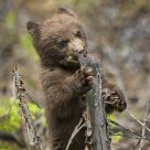 Cinnamon Phase Black Bear Cub