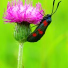 Zygaena
