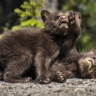 Black Bear Cubs in a Friendly Wrestling Match