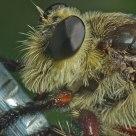 Tomato Fly Closeup