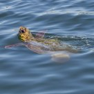 Caretta caretta, Mediterranean turtle in natural habitat.