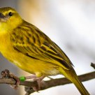 Taveta Golden Weaver