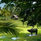 lankawi ricefield