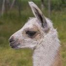 A young llama.