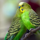 Green Budgerigars