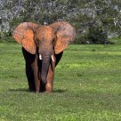 Wild African Elephant