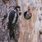 Mother and child. Great Spotted Woodpecker / Dendrocopos major