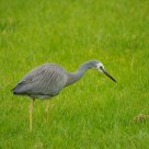 White face heron