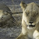 Female Lions Resting in Morning Light
