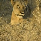 Lioness in late afternoon