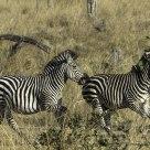 Zebras Frolic