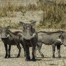 Wary Warthogs