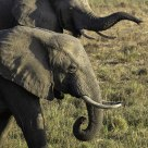 Elephants roam near Zungalila bush camp