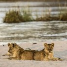 Lions at twilight by the Kapamba River