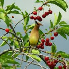 Waxwing on cherry tree