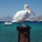 Pelican II in Mykonos