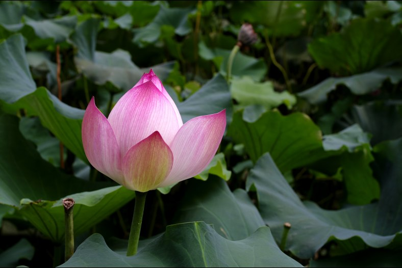lotus 3