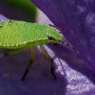 Green Bug