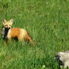 Meadow Fox