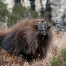Tahr Tongue