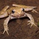 Italic Frog