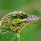 Green Eared Barbet closeup