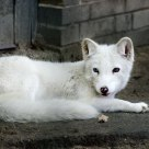 Eyes of white fox