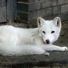 Eyes of white fox