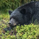 Large Male Black Bear Resting