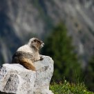 Sunbathing Marmot