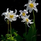 Avalanche Lily, P