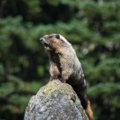 Whistling Marmot