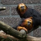 Golden-headed Lion Tamarins