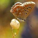 Licenide Butterfly