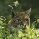 Lynx in the Austrian Forest