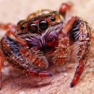 Jumping Spider -01