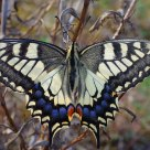 Machaon Machaon ---- Macaon