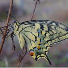Machaon Machaon ---- Macaon   2