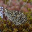 Mariposa Bacante (¿)