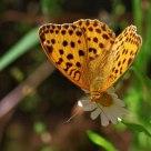 Argynnis paphia (dostojka malinowiec)