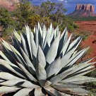 Agave & Courthouse Butte