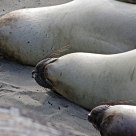 Elephant Seal Trio
