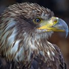 The Ruler .......................................Harris Hawk (Parabuteo unicinctus)