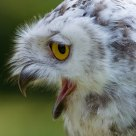 OMG !!!!!! .............................................. Snow Owl (Bubo scandiacus)