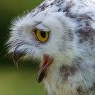 OMG !!!!!! .............................................. Snow Owl (Bubo scandiacus)