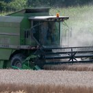 Triticale harvest in the Lower Rhine region